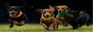 weiner-dog-race